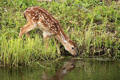 White-tailed Deer Fawn Drinking Art Print by Jurgen and Christine Sohns