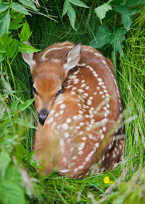 Photograph - White-tailed Deer Fawn by Melinda Fawver