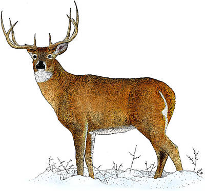Photograph - White-tailed Deer, Illustration by Roger Hall