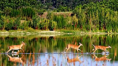 Photograph - White-tailed Deer In A Pond by Ira Runyan