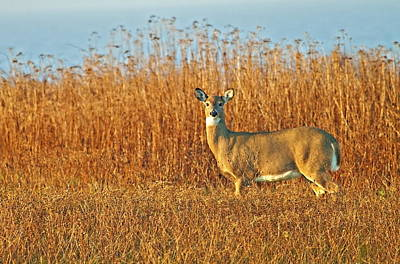 Photograph - White Tailed Deer In Morning Light by John Vose