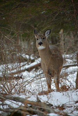 Photograph - White Tailed Deer In Winter by Mike Martin