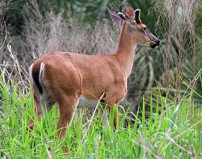 Photograph - White-tailed Deer by Ira Runyan