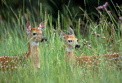 Two Deer Photograph - White-tailed Deer (odocoileuis by John Barger