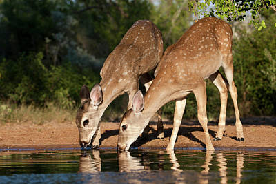 Twin Fawns Photograph - White-tailed Deer (odocoileus by Larry Ditto