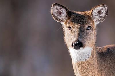 Deer Photograph - White-tailed Deer Portrait - Doe - Wildlife by SharaLee Art