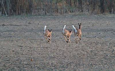 White Tailed Deer Running Print by Dan Sproul