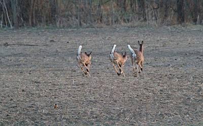 White Tailed Deer Running Art Print by Dan Sproul