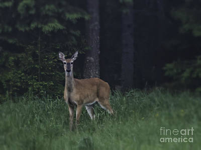 White-tailed Deer Art Print by Veikko Suikkanen