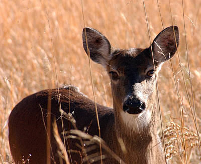 Nature Photograph - White-tailed Doe by Greg and Chrystal Mimbs