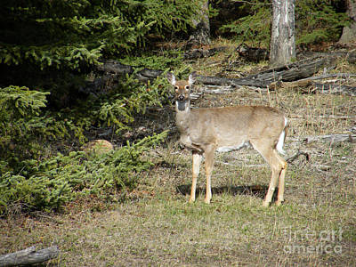 Photograph - White Tailed Doe by Phil Banks