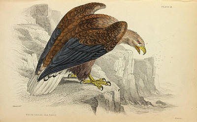 Accipitridae Photograph - White-tailed Eagle by Natural History Museum, London