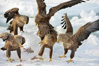 White-tailed Eagles With Prey Art Print