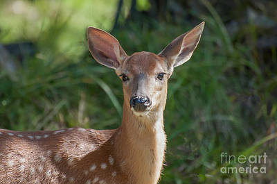 Photograph - White-tailed Fawn by Bianca Nadeau