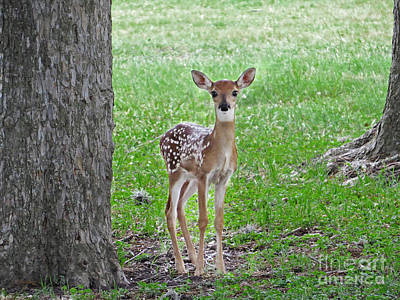 White-tailed Fawn - Face Of Innocence Art Print