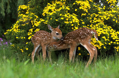 Photograph - White-tailed Fawn Pair Nuzzling by Alan & Sandy Carey