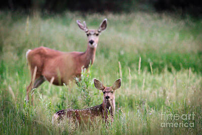 White-tailed Fawn Art Print by Robert Bales