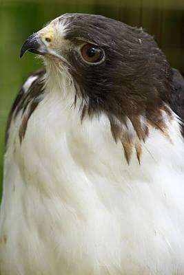 Sutton Photograph - White-tailed Hawk, Buto Albicaudatus by William Sutton