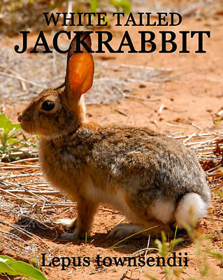 White Tailed Jackrabbit Art Print