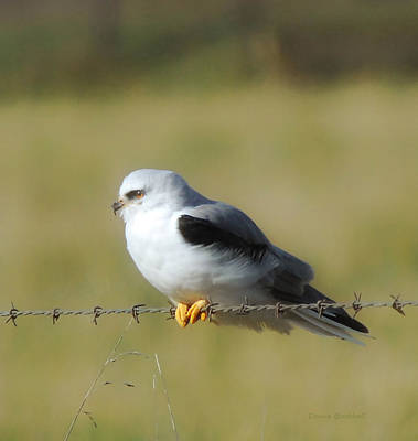 Photograph - White Tailed Kite by Donna Blackhall