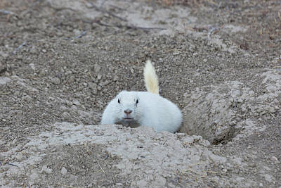 Prairie Dogs Photograph - White-tailed Prairie Dog Cynomys by Panoramic Images
