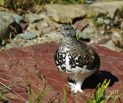 Photograph - White-tailed Ptarmigan by Sue Smith