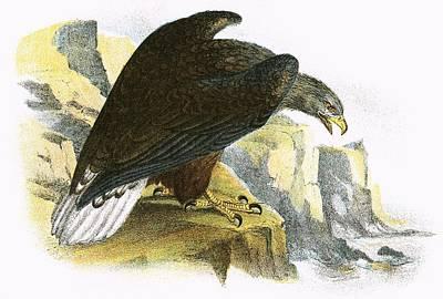 Sea Eagle Photograph - White Tailed Sea Eagle by English School