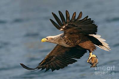 Accipitridae Photograph - White-tailed Sea Eagle by Thomas Hanahoe