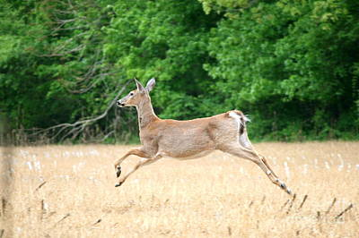 Photograph - White-tailed Sprint  by Neal Eslinger