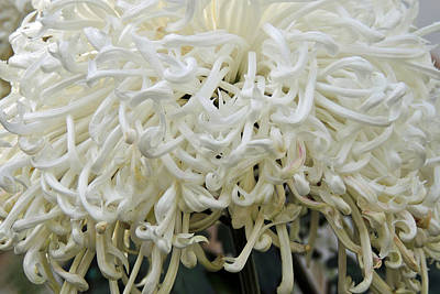 Lamberton Conservatory Photograph - White Tendrils by Sharon Hann