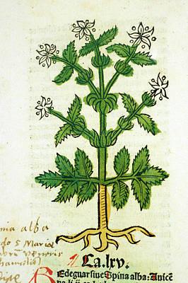 White Thistle Plant Art Print