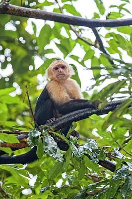 Capuchin Photograph - White-throated Capuchin (cebus Capucinus) by Photostock-israel