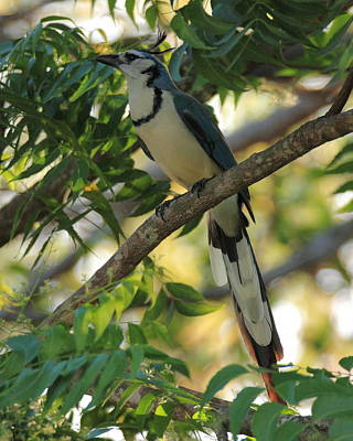 Photograph - White Throated Magpie-jay by Coby Cooper