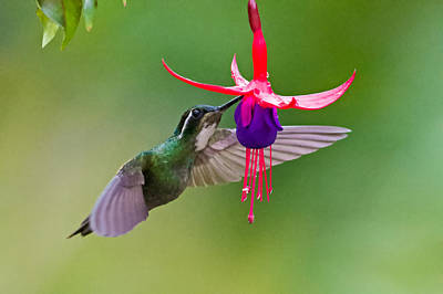 Stamen Photograph - White-throated Mountaingem Lampornis by Panoramic Images