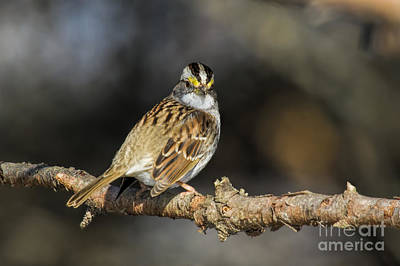 Photograph - White-throated Sparrow by Barbara Bowen