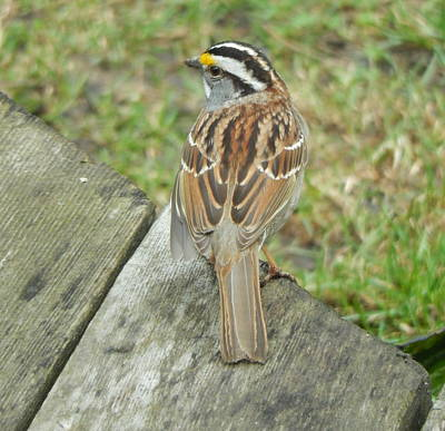 Photograph - White Throated Sparrow by Betty-Anne McDonald
