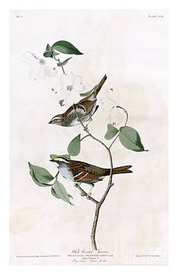 White-throated Sparrow Painting - White Throated Sparrow By John James Audubon by Pablo Romero