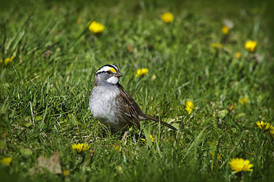 Photograph - White-throated Sparrow by Christina Rollo