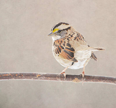 Photograph - White Throated Sparrow by Deena Stoddard