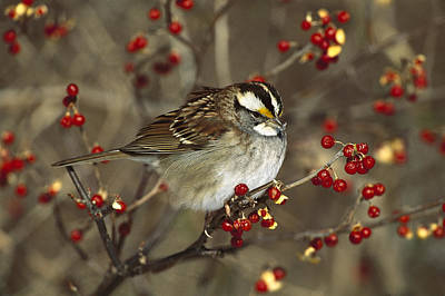 White-throated Sparrow Photograph - White-throated Sparrow In Bittersweet by Tom Vezo