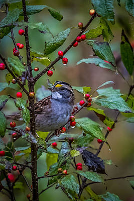 White-throated Sparrow Photograph - White Throated Sparrow by Paul Freidlund