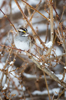 Sparrow Photograph - White Throated Sparrow Portrait by Bill Wakeley