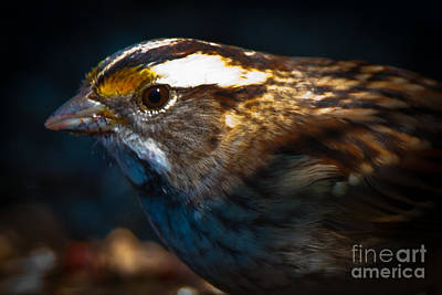 Book Quotes - White-throated Sparrow Portrait  by Robert McAlpine