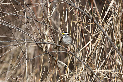 White-throated Sparrow Photograph - White-throated Sparrow Zonotrichia by Linda Freshwaters Arndt