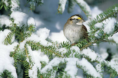 White-throated Sparrow Photograph - White-throated Sparrow (zonotrichia by Richard and Susan Day