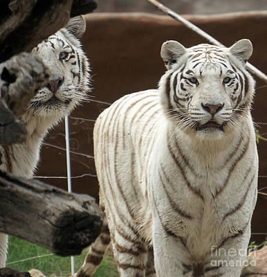 Photograph - White Tiger 6 by Rachel Munoz Striggow