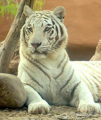 Photograph - White Tiger 7 by Rachel Munoz Striggow