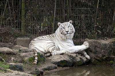 Photograph - White Tiger At The Montgomery Zoo In Alabama by Carol M Highsmith