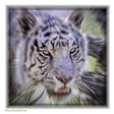 Cat Photograph - White Tiger Dreams Radial Blur by LeeAnn McLaneGoetz McLaneGoetzStudioLLCcom