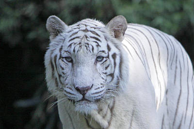 White Tiger Face Art Print by Shoal Hollingsworth